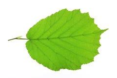 Leaf of the Hazel tree (Corylus avellana) Stock Image