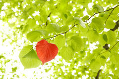Leaf heart. Conservation of environment concept. A red heart shaped leaf in a tree next to green leafs symbolising care and love for nature Stock Image