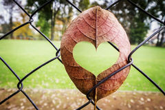 Leaf with Heart Shape. Cut Stuck in Fence stock photo