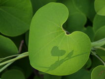 Leaf of heart Stock Image