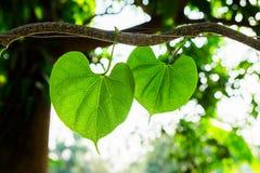Leaf heart vine ivy natural Stock Photo
