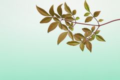 Leaf of heavenly bamboo in a green Gradient background Stock Photography