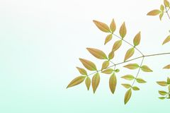 Leaf of heavenly bamboo in a green Gradient background Royalty Free Stock Photo