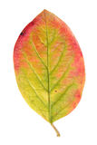 Leaf of Hedge cotoneaster isolated on white Royalty Free Stock Photo