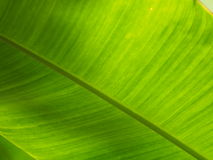 Leaf of heliconia or bird of paradise Royalty Free Stock Image