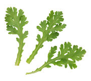 A leaf herb commonly Stock Image