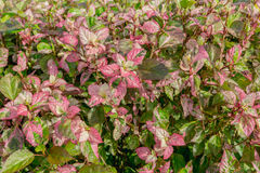 Leaf hibiscus flower Stock Image