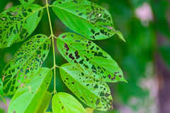 Leaf with holes, eaten by pests, diseased and decayed weeping gr. Een leaf lace, Plant disease. selective focus Royalty Free Stock Images