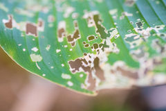 Leaf with holes, eaten by pests, diseased and decayed weeping gr. Een leaf lace, Plant disease. selective focus Stock Image