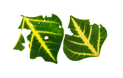 Leaf with holes, eaten by pests Stock Photography
