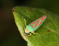 Leaf Hopper Stock Image
