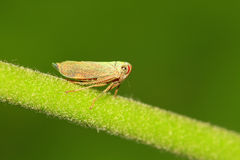 Leaf hopper Royalty Free Stock Photography