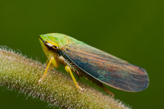 Leaf hopper. Macro shot of a plant hopper on a branch royalty free stock photography