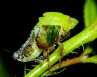 Leaf Hopper Stock Photography