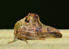 Leaf-hopper Royalty Free Stock Image