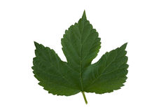 Leaf from hops Stock Photos