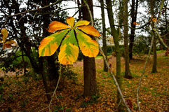 Leaf of a horse-chestnut in the autumn. Stock Image
