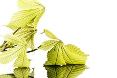 Leaf of horsechestnut on reflective surface Stock Images
