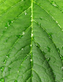 Leaf of hortensia Royalty Free Stock Images