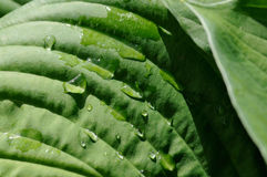 Leaf of hosta Stock Image