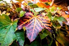 Leaf i höst royaltyfria bilder