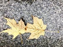 Leaf i regn Arkivbild