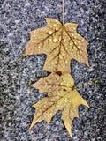 Leaf i regn Arkivfoton