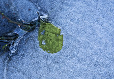 Leaf and ice Stock Images
