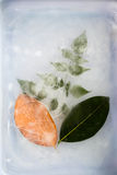 Leaf in ice Stock Photography