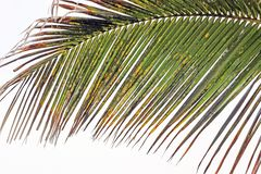 A leaf of an ill palm tree stock image