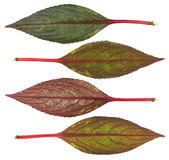 Leaf of Impatiens Royalty Free Stock Image