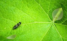 Leaf and insect. A green leaf that looks like a spider and a fly on the other side Royalty Free Stock Image