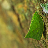 Leaf insect Royalty Free Stock Photos