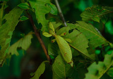 Leaf insect Royalty Free Stock Image