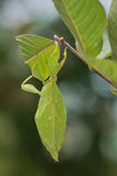 A leaf insect on guava tree Stock Image
