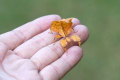 Leaf Insect in hand. Leaf Insect with hand in Asia Stock Photography