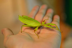 Leaf insect in hand Royalty Free Stock Photo