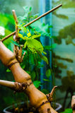 Leaf insect Stock Photography