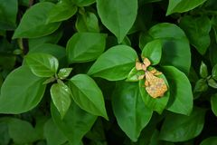 Leaf Insect in nature background. stock photo