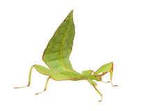 Leaf insect, Phylliidae - Phyllium sp Royalty Free Stock Image