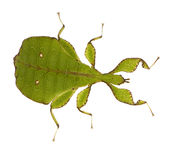 Leaf insect, Phylliidae - Phyllium sp Royalty Free Stock Photo