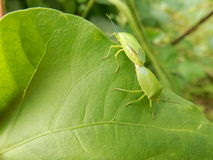 Leaf with insect Royalty Free Stock Image