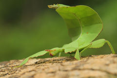 Leaf insect in Thailand. stock images