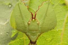 Leaf insect in Thailand. stock photos