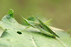 Leaf insects Stock Photography