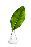 Leaf inside a flask Royalty Free Stock Photo