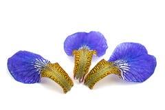 Leaf iris flower Stock Photo