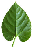 Leaf isolate background Royalty Free Stock Image