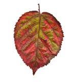 Leaf isolated. Nice autumn colored leaf isolated Stock Photos