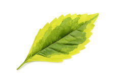 Leaf isolated Stock Image